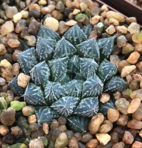 "Haworthia cooperi cv. ""Mirrorball"""