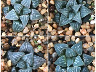 Haworthia species seeds