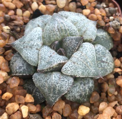 Haworthia picta Japanese cultivar