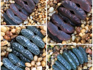 Haworthia species selections seeds