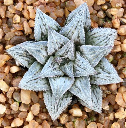 Haworthia hybrid Platinum