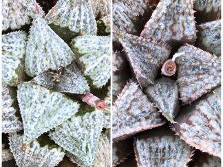 Haworthia esterhuizenii-x-BevsWonderClone3 X est Noble Star series plant