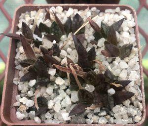 Stressed haworthia seedlings