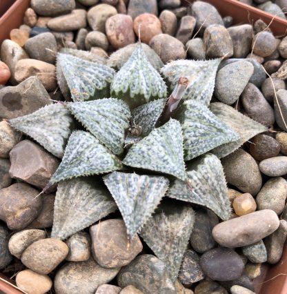 Haworthia esterhuizenii-x-BevsWonderCloneC