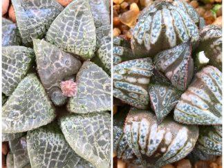 "Haworthia comptoniana X Haworthia ""Kinto-un"" (T576)"
