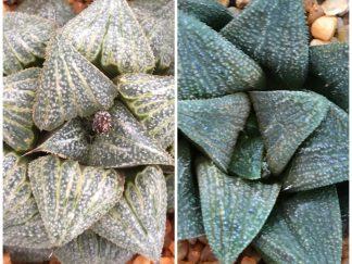 Haworthia splendens hybrid X BlackLady-x-Daiginjou