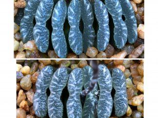 Haworthia truncata Schoemanshoek