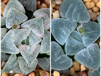 T672 - Haworthia pygmaea crystalline Grootbrak