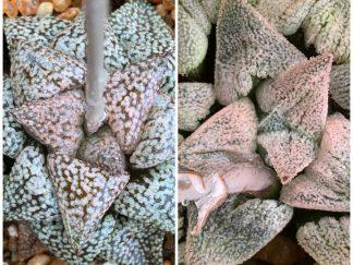 T669 - Haworthia HPG1 X picta mosaic