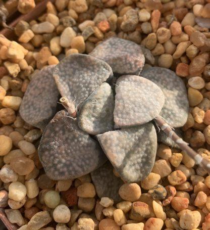 Haworthia groenewaldii spotted clone