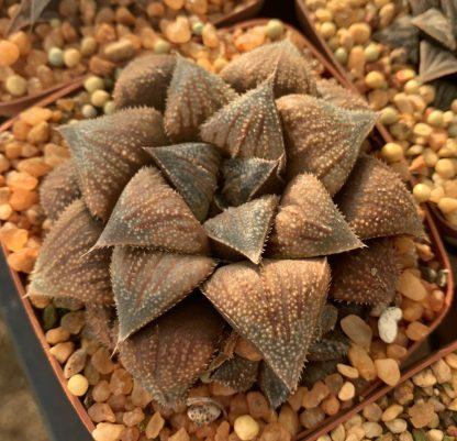 Haworthia robust chocolate hybrid