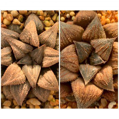 T683-Haworthia wimii-x-trippleb X chocolate hybrid