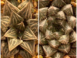 T684-Haworthia wimii-x-bevswonder x cv Mirrorball