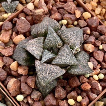 Haworthia black splendens