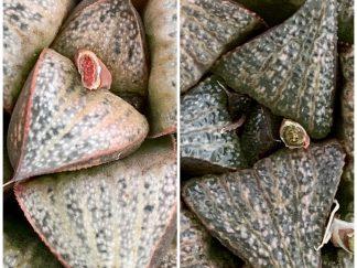 T755-Haowrthia splendens GM447 X black splendens