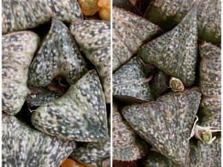 T776-Haworthia splendens masai X black splendens